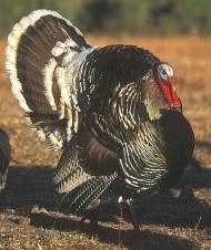 Gould's Turkey